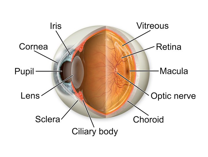 Anatomy Of Your Eye Perspective Opticians Solihull